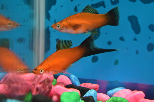red wag swortail pair 1m1f