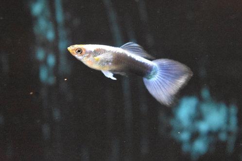 blue neon male guppy 3 to 3.5cm