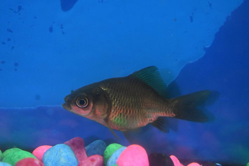 7cm uncoloured gold fish