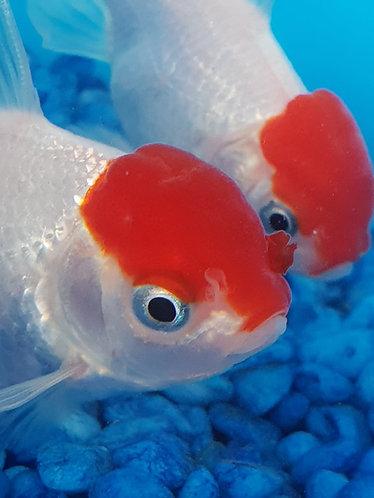15 to 17cm red cap oranda