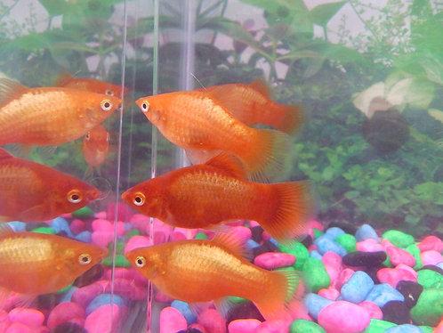 10     red sheen platys 3.5cm
