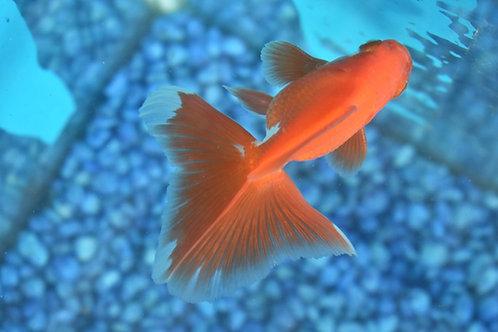 5cm broadtail spectacular red rhyukin