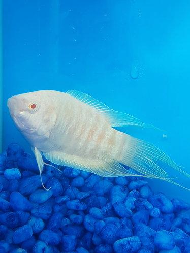 5cm alpine albino paradise fish