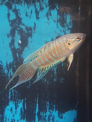 blue 5cm paradise fish
