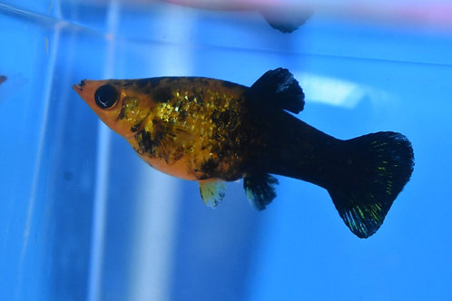 4 to 5 cm black and gold molly