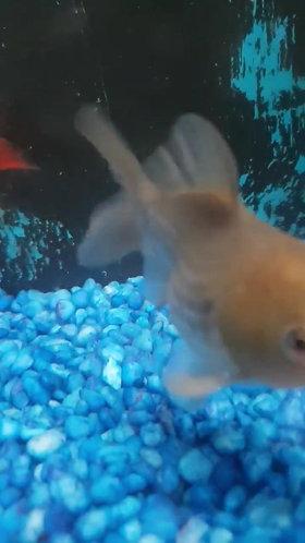 5cm assorted shortfin Tamasaba