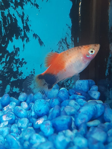red and white micki mouse platy 3.5cm