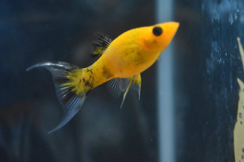 4 to 5 cm gold dust lyretail molly