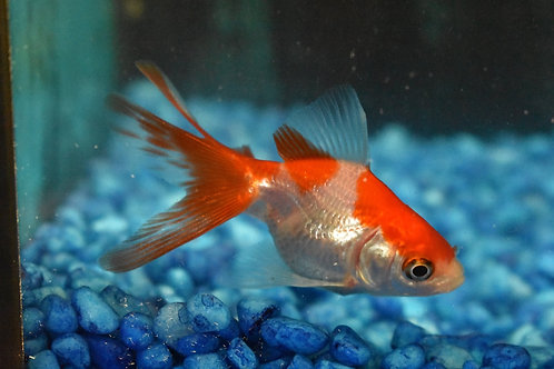 red and white lontail 5 cm rhyukin