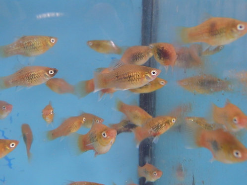 50 uncoloured platys(or whats in stock) 2.5 to 4cm