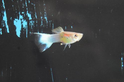 3 cm blue splash tail male guppy