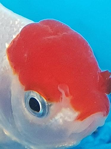10 to 12cm red cap oranda