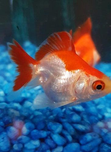 5 cm red and white shortfin rhyukin
