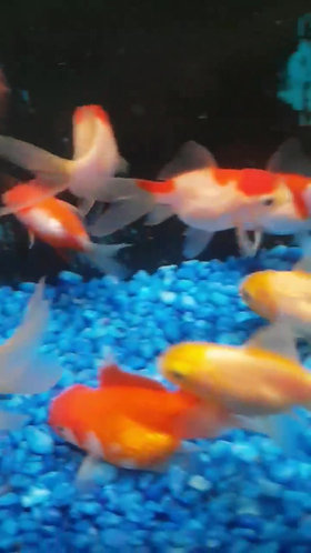 assorted single tailed 5 to 7cm gold fish