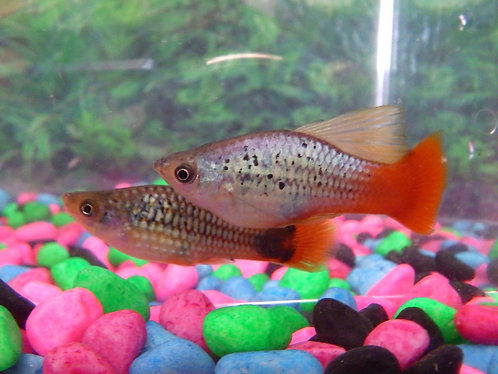 3.5cm hifin platy pair1m1f