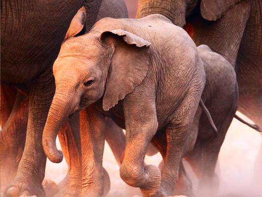 El elefante sumiso