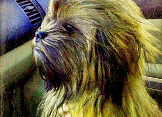 Photo of Smokey the Chewbacca Dog Goes Viral
