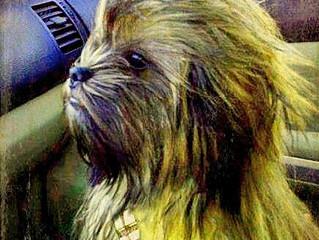 Photo of Smokey the Chewbacca Dog Goes Viral