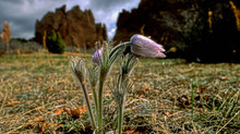 Pasqueflowers: Harbinger of Colorado Spring