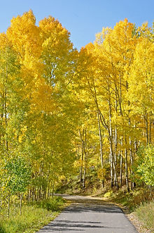 Aspens line a mountain road in Colorado.