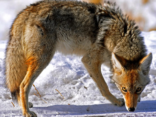 Coyote at the Great Sand Dunes: Omen of the Trickster