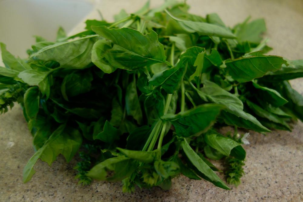 freshly picked basil leaves.JPG