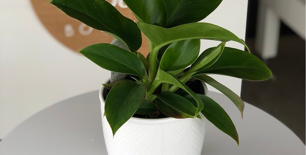Philodendron Imperial - Green 14cm