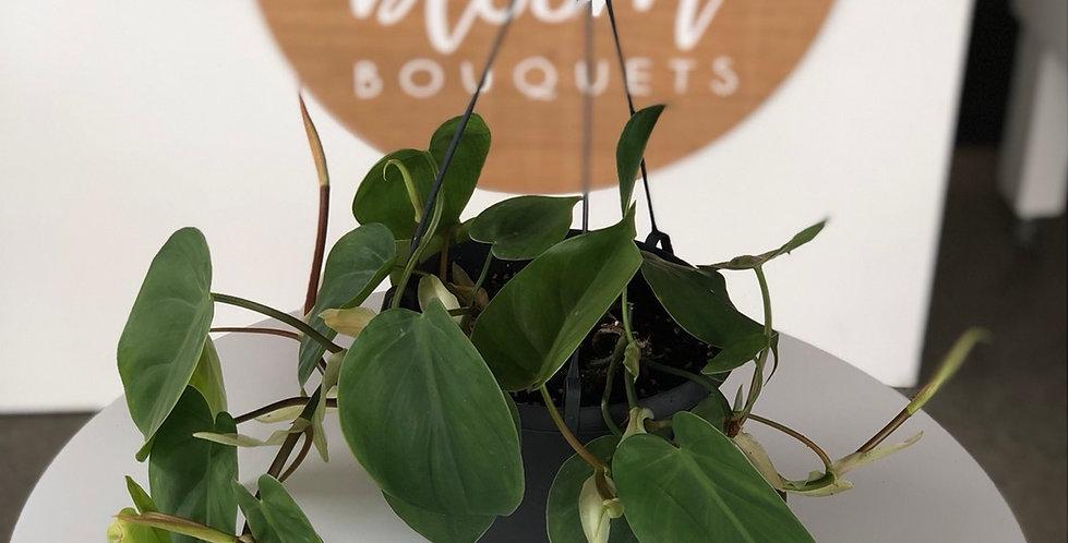 Heartleaf Philodendron - 17cm Hanging pot plant
