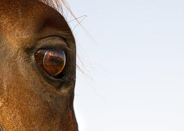 Horses in Saudi Arabia