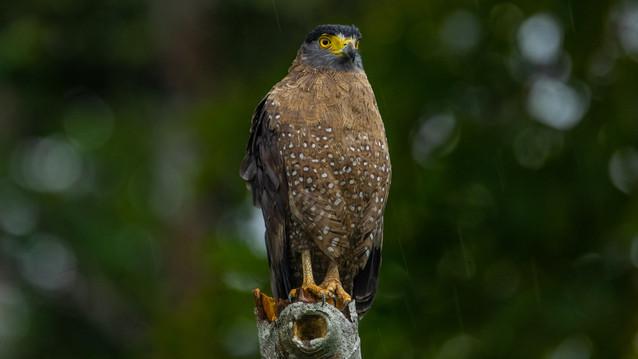 Serpant eagle-Borneo birds-Birdlife of B