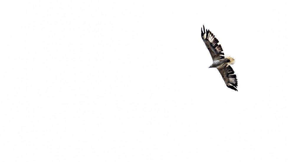 White bellied Sea-Eagle-Sea eagle in fli