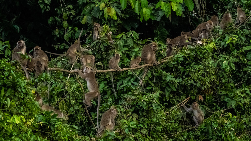 Many long tail Maquacs on tree-Family of