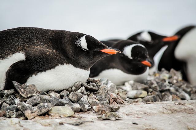 Nesting Gentoo-Penguin colony nest-Pengu