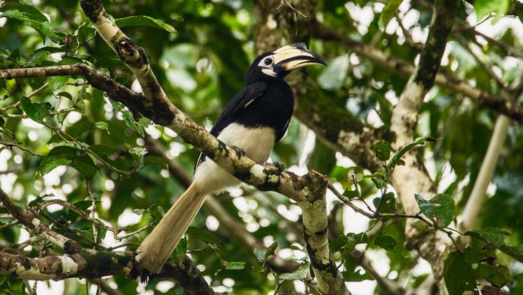 Oriental pied hornbill-pied hornbill in