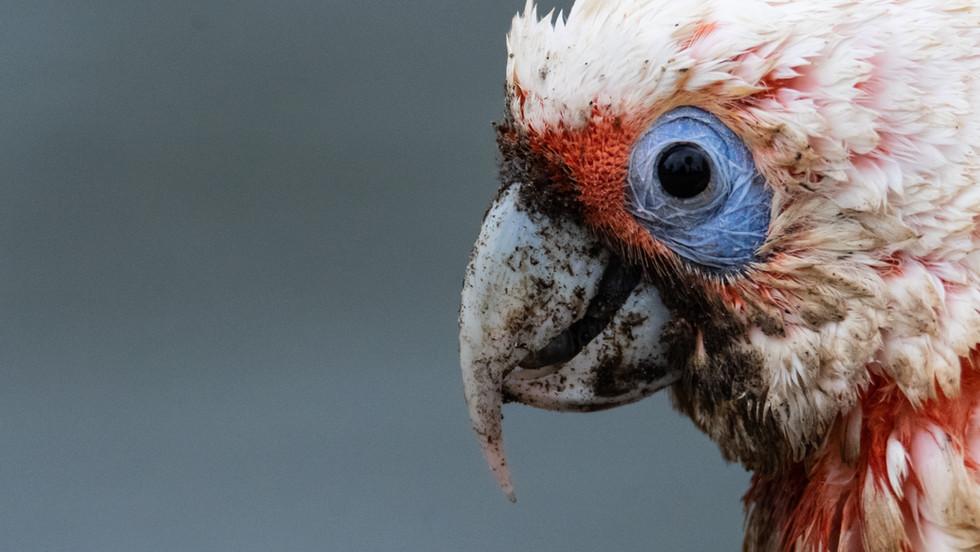 Sydney Parrot.jpg