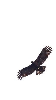 Black eagle in flight-Accipitridae-ictin