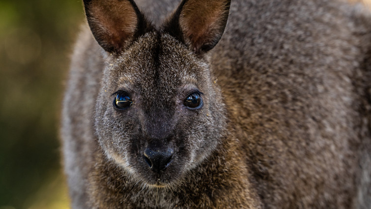 Pademelon Wallaby-Pademelon of flinders
