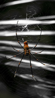 Scary Spider in web-Scary black and whit