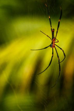 Killer spider-Australia-Large spider-Cai