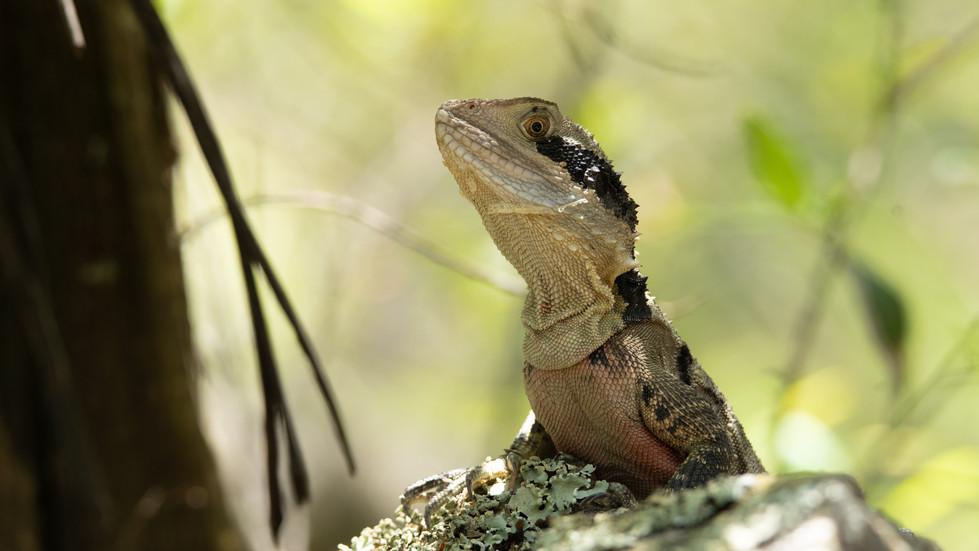 Mountain Dragon-Australian Reptiles-Blue
