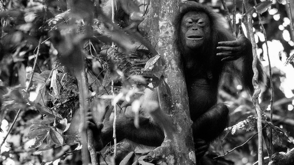 Female Orangutan in tree-Mother oranguta