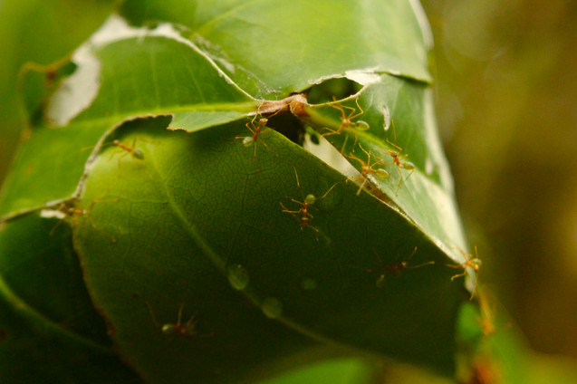 Daintree national park-Fire Ants-Marchin