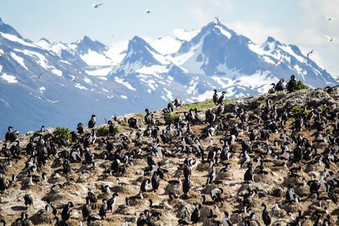 Ushuaia Argentina birds-shags on rocks-N
