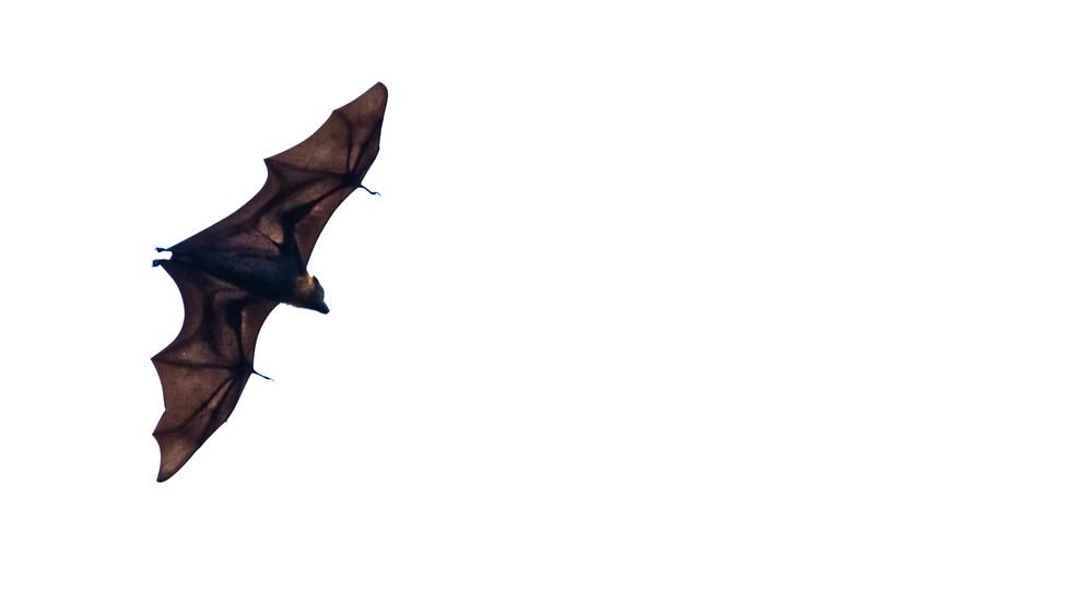 Fruitbat in flight-flying fox in flight-