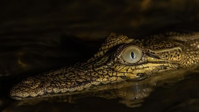 Baby crocodile at night-baby croc-baby c