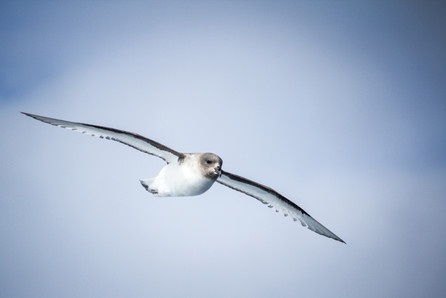 Antarctic Petrel-Antarctic birdlife-natg
