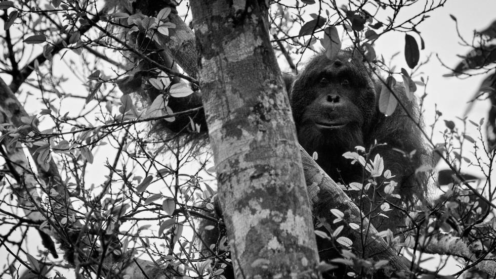 Alpha male orangutan-Borneo wild orangut
