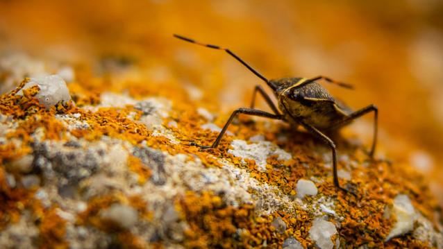Stink bug Tasmania-Flinders island insec