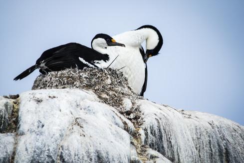 Nesting shag-Antarctica shag nesting-Cor