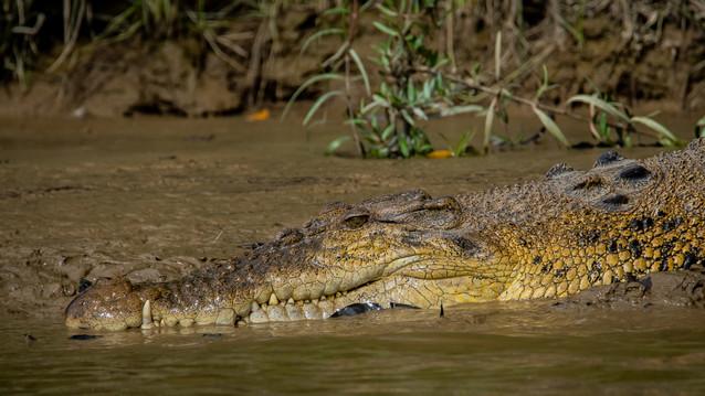 Crocodiles of borneo-large male crocodil